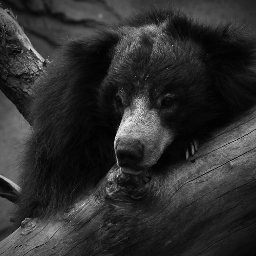 Black and White zoo Photography - Sloth Bear