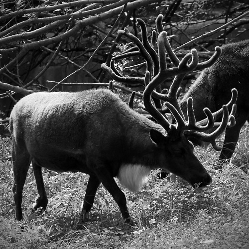 Black and White zoo Photography - Caribou