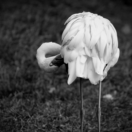 Black and White zoo Photography - Flamingo