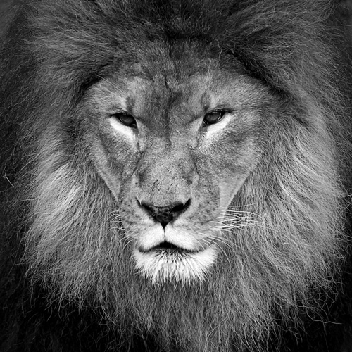 Black and White zoo Photography - Lion 1