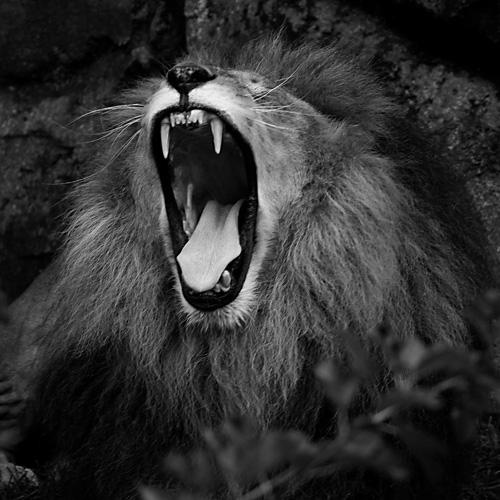 Black and White zoo Photography - Lion 2