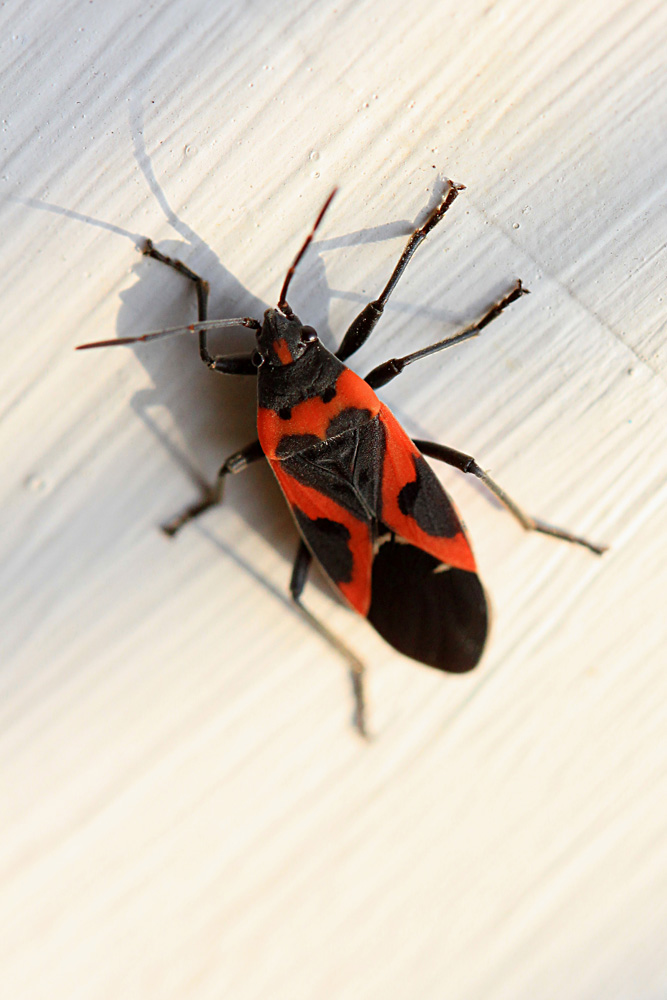Small Milkweed Bug - Jordan Ladikos