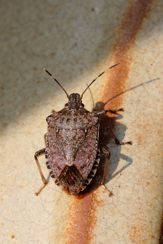 Brown Marmorated Stink Bug - Jordan Ladikos