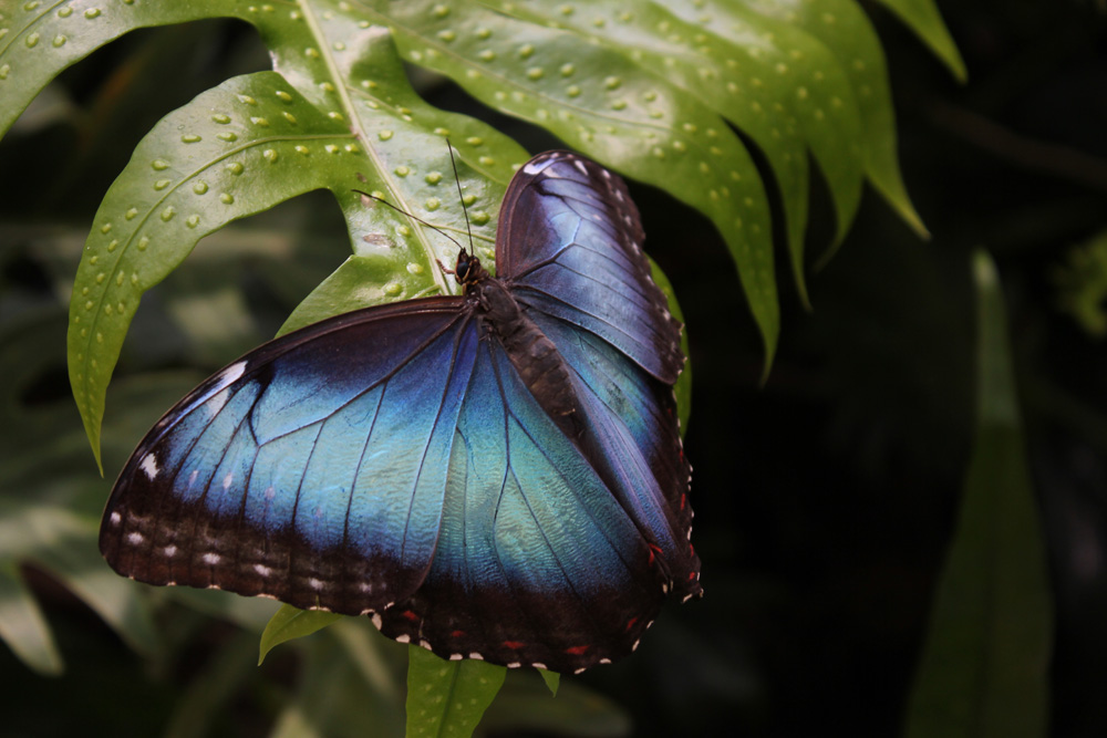 Blue Morpho Butterfly at Cleveland Zoo - Jordan Ladikos