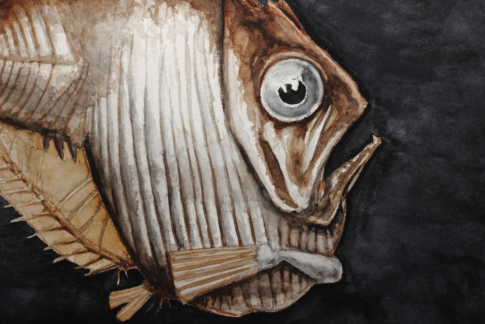 Pacific Hatchetfish Watercolor Painting Detail 1