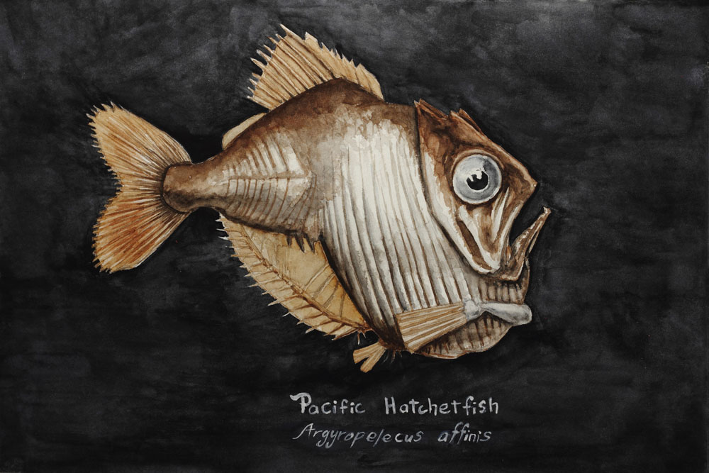 Pacific Hatchetfish Watercolor Painting